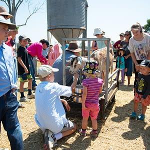 Goat milked during farm tour