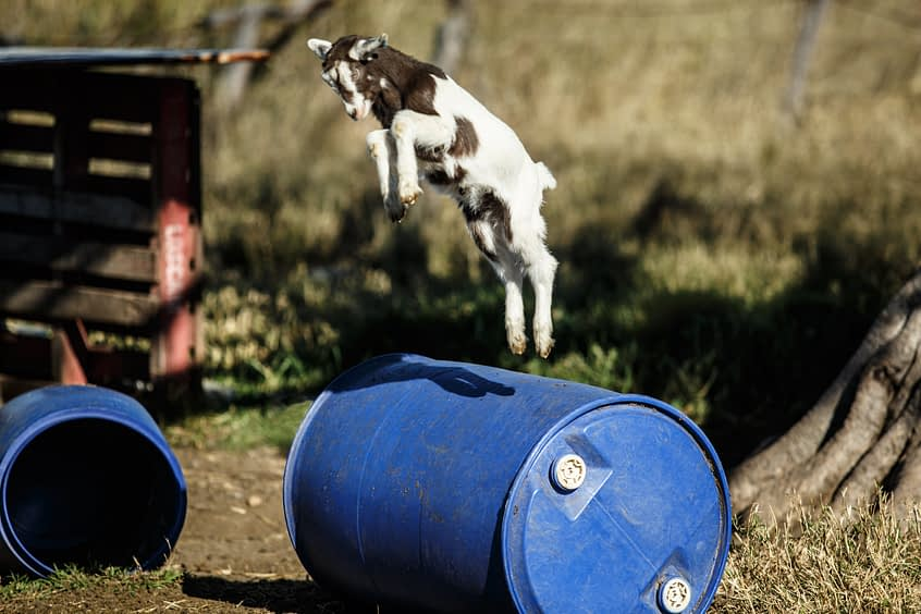 Baby goat jumping over a blue barrel